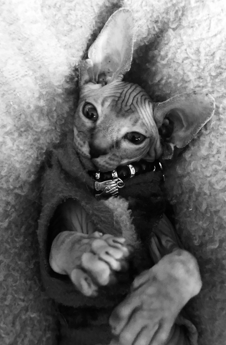 Sphynx Cats Sale | Long Beach, CA #1562 | Hoobly US