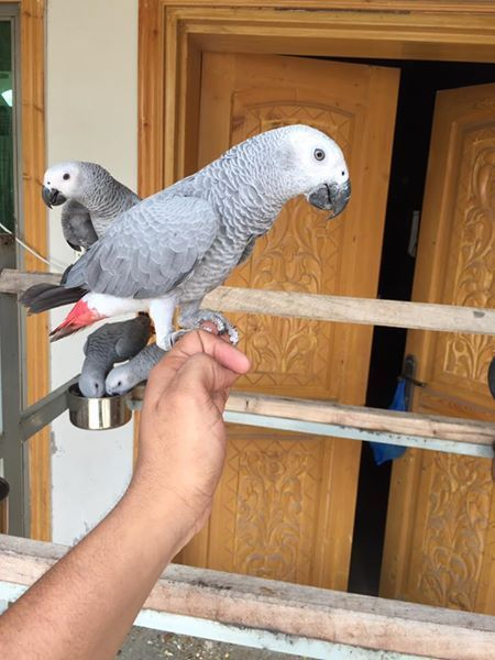 California Parrots Related Keywords & Suggestions - California
