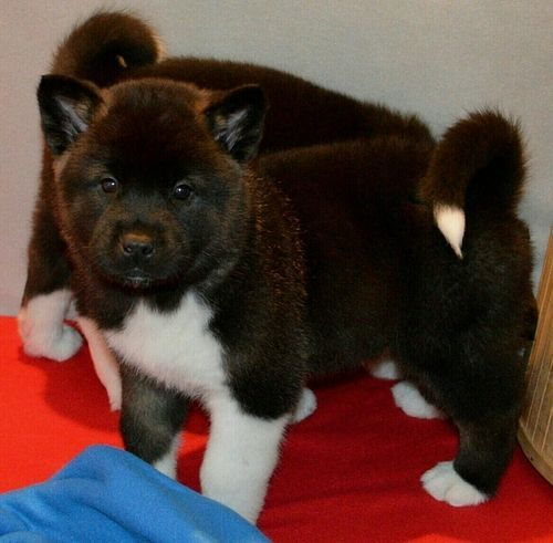 Akita Puppies For Sale Winston Salem Nc 245228