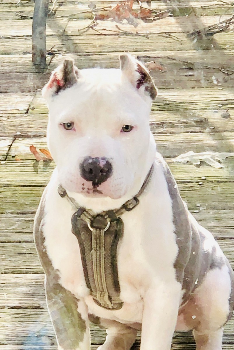 American Bully Puppies For Sale | Suitland-Silver Hill, MD