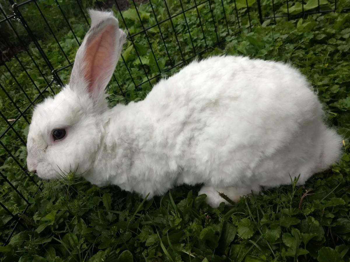 what is an angora rabbit
