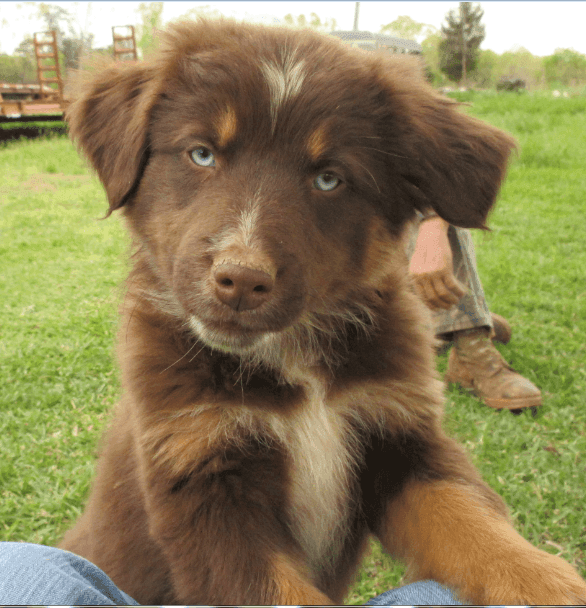 Australian Shepherd Puppies For Sale | Rutherfordton, NC ...