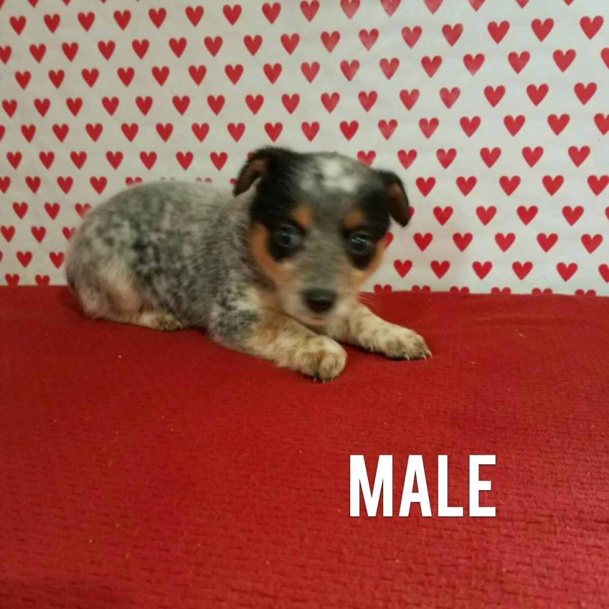 Australian Shepherd Puppies For Sale | Wooster, OH #180019