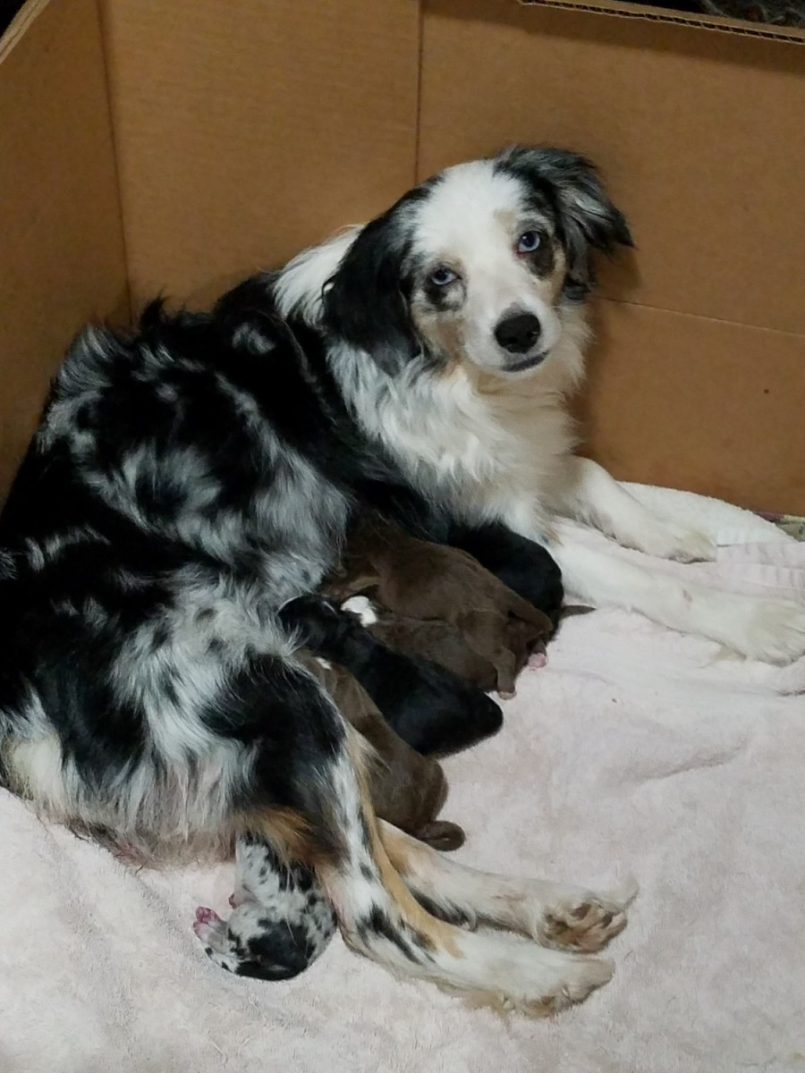 puppies for sale atlanta