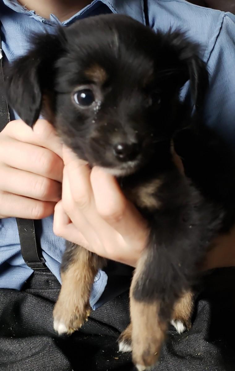 Australian Shepherd Puppies For Sale | Newaygo, MI #312933