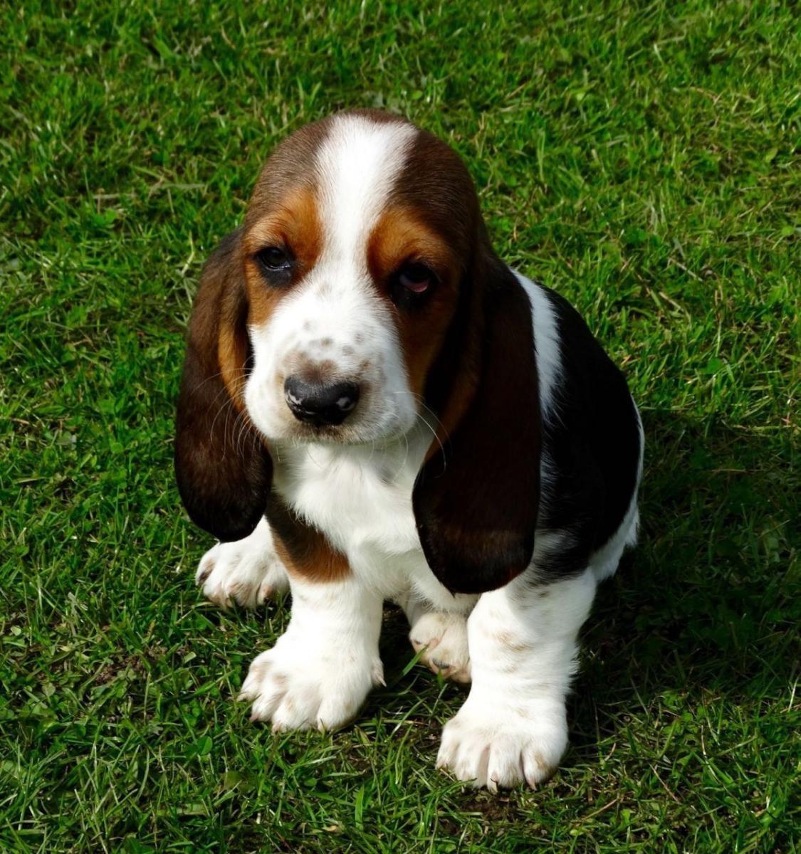 Basset Hound Puppies For Sale   Garden Grove, CA #132159