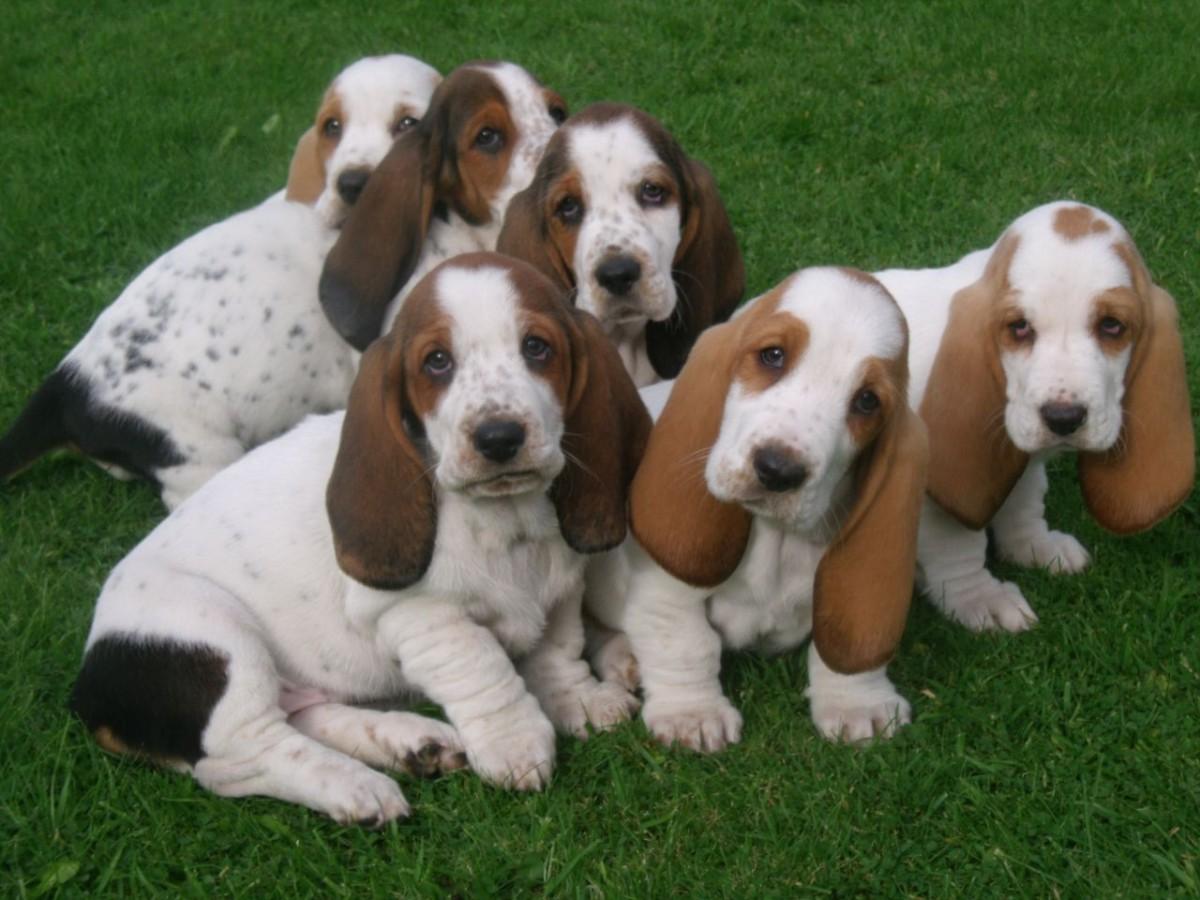 Basset Hound Puppies For Sale   Las Vegas, NV #230056