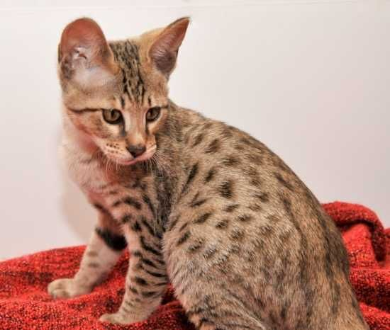 Bengal Kittens For Sale Utah | Golden Gates