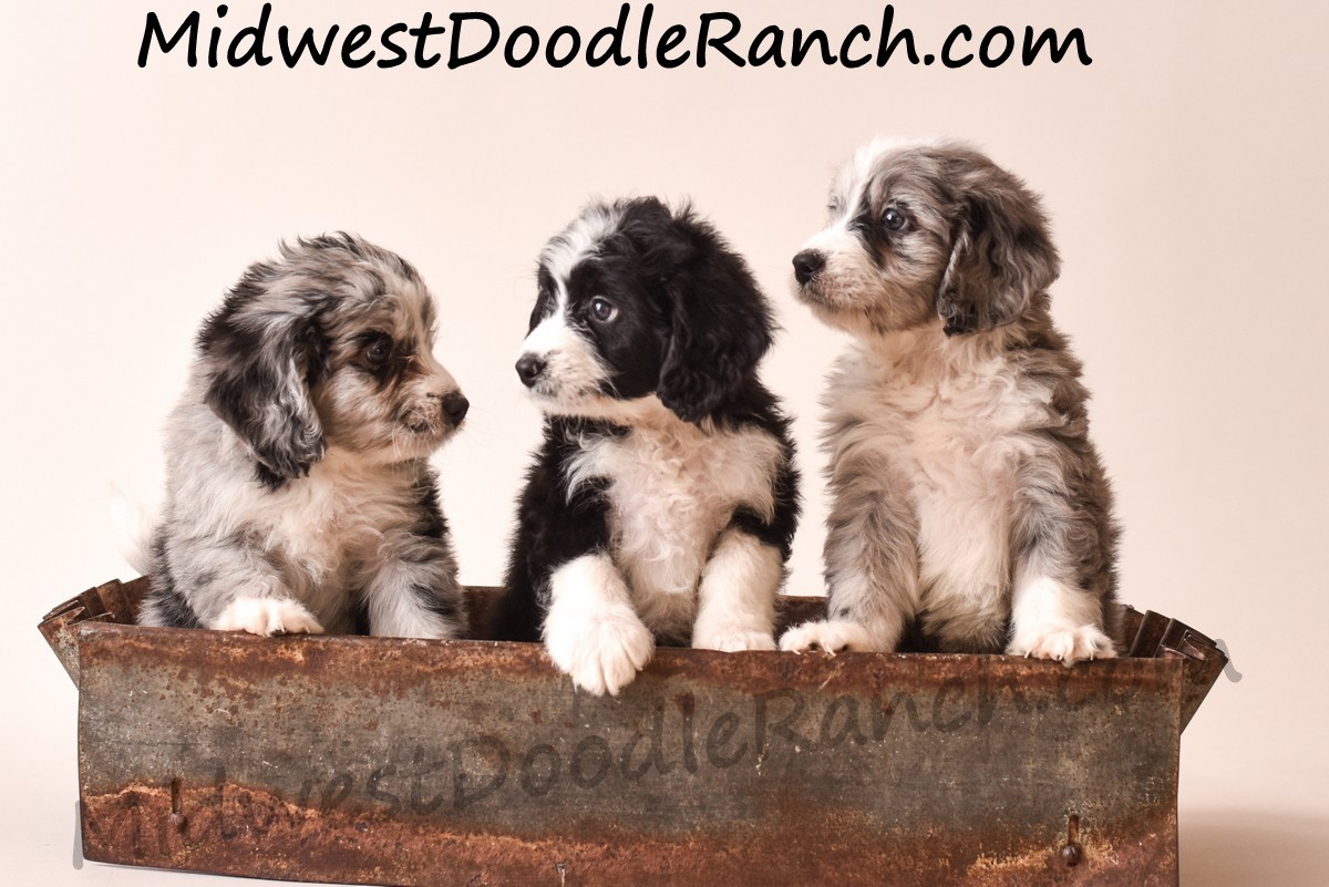 Bernedoodle Puppies For Sale Denver Co 311984