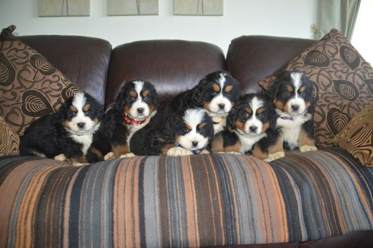 Bernese Mountain Dog Puppies For Sale El Paso Tx 191244