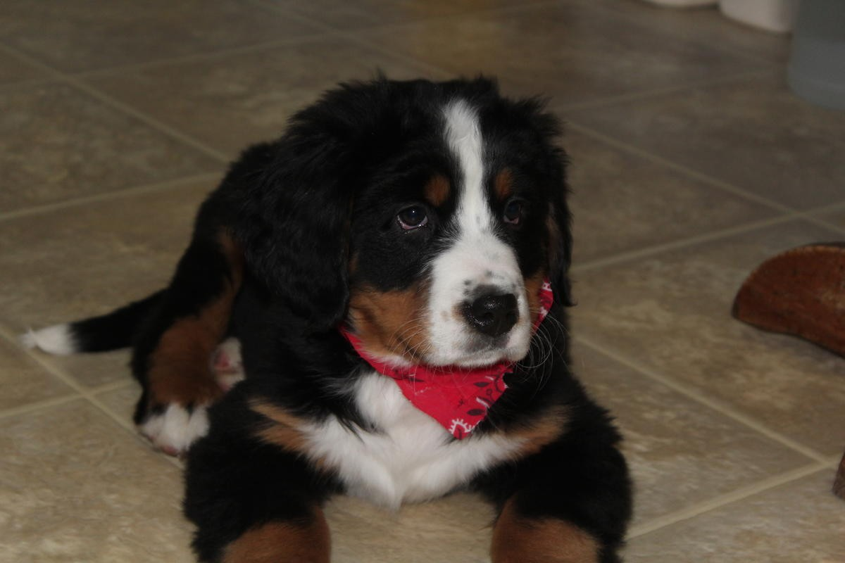 Bernese Mountain Dog Puppies For Sale | India