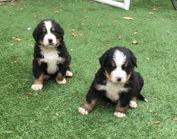 Bernese Mountain Dog Puppies For Sale Phoenix Az 266285
