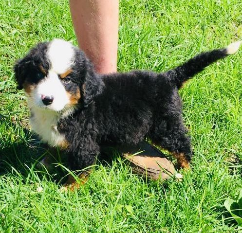 Bernese Mountain Dog Puppies For Sale Gilman City Mo 300562