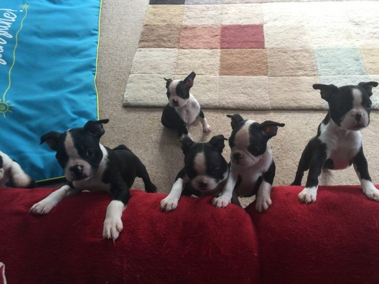Boston Terrier Puppies For Sale Portland Or 241194