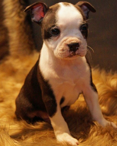 boston terrier breeders wi boston terrier puppies for sale milwaukee wi 287488 5984