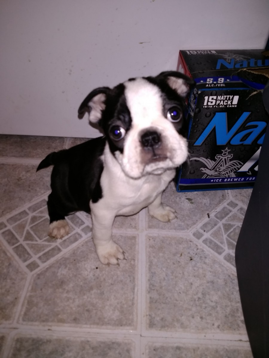 Boston Terrier Puppies For Sale Indiana | Pets and Dogs