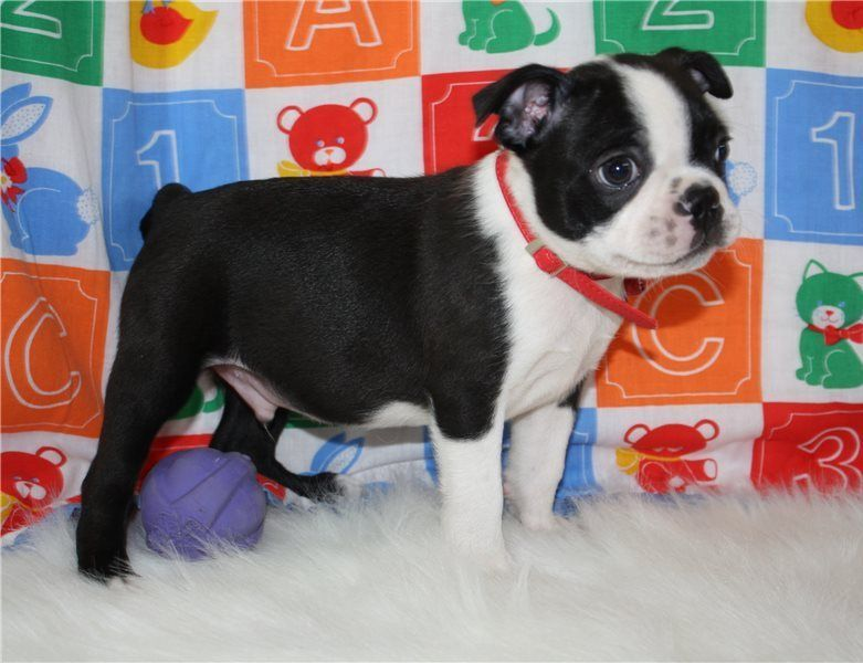 Boston Terrier Puppies For Sale Houston Tx 259346 - Www
