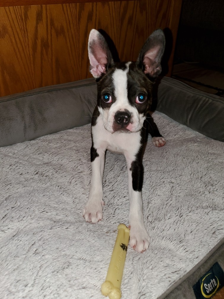 Boston Terrier Puppies For Sale Conway Sc 330431