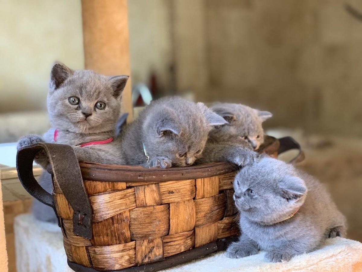 British Shorthair Cats For Sale | Memphis, TN #286266
