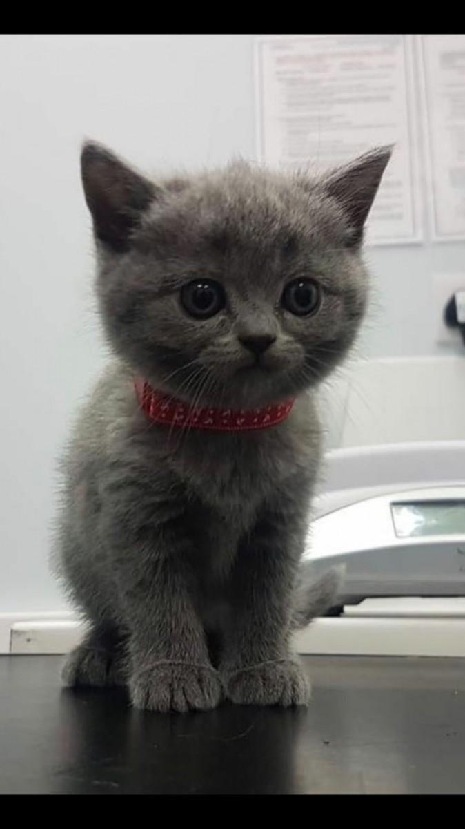 British shorthair cats breeders in ohio