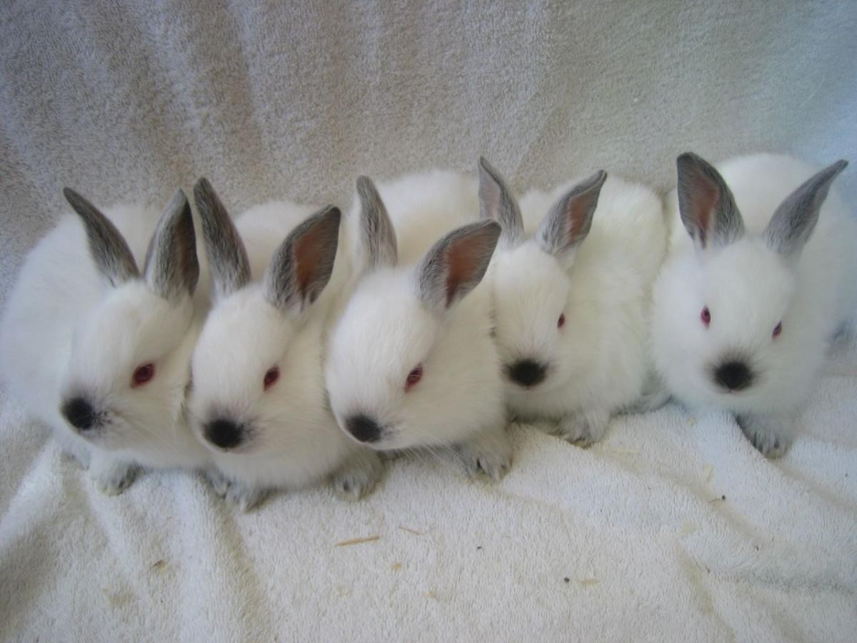 Californian Rabbit Rabbits For Sale New York Ny 121331