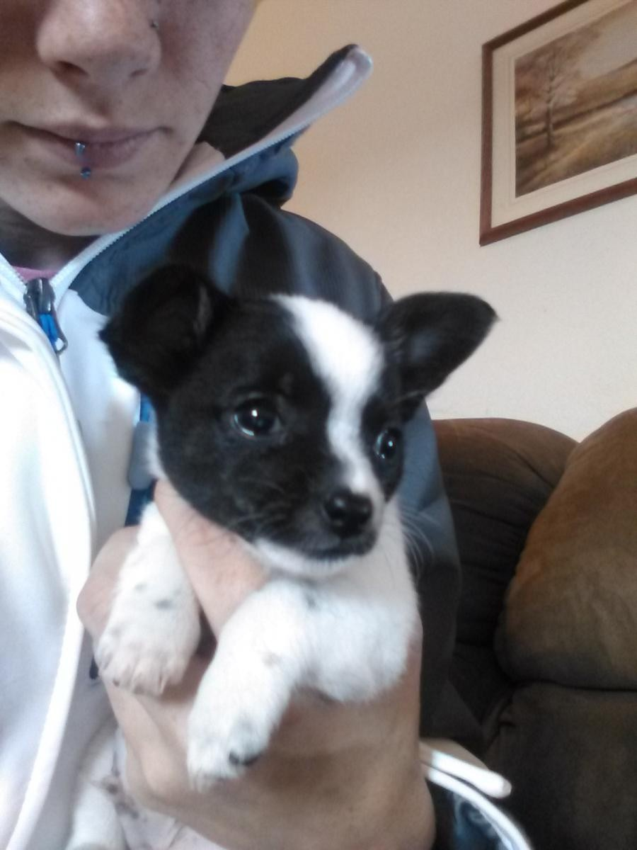 chihuahua puppies for sale michigan
