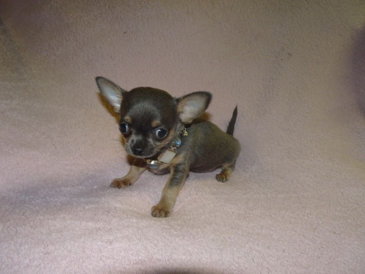 chihuahua puppies for sale in sc chihuahua puppies for sale greenville sc 191590 111