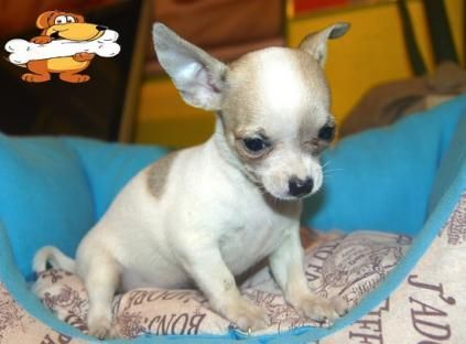chihuahua puppies for sale in sc chihuahua puppies for sale spartanburg school district 5383