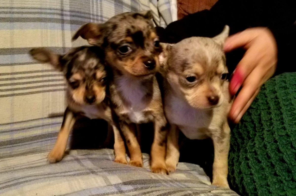 chihuahua for sale in pa chihuahua puppies for sale erie pa 289817 petzlover 9605