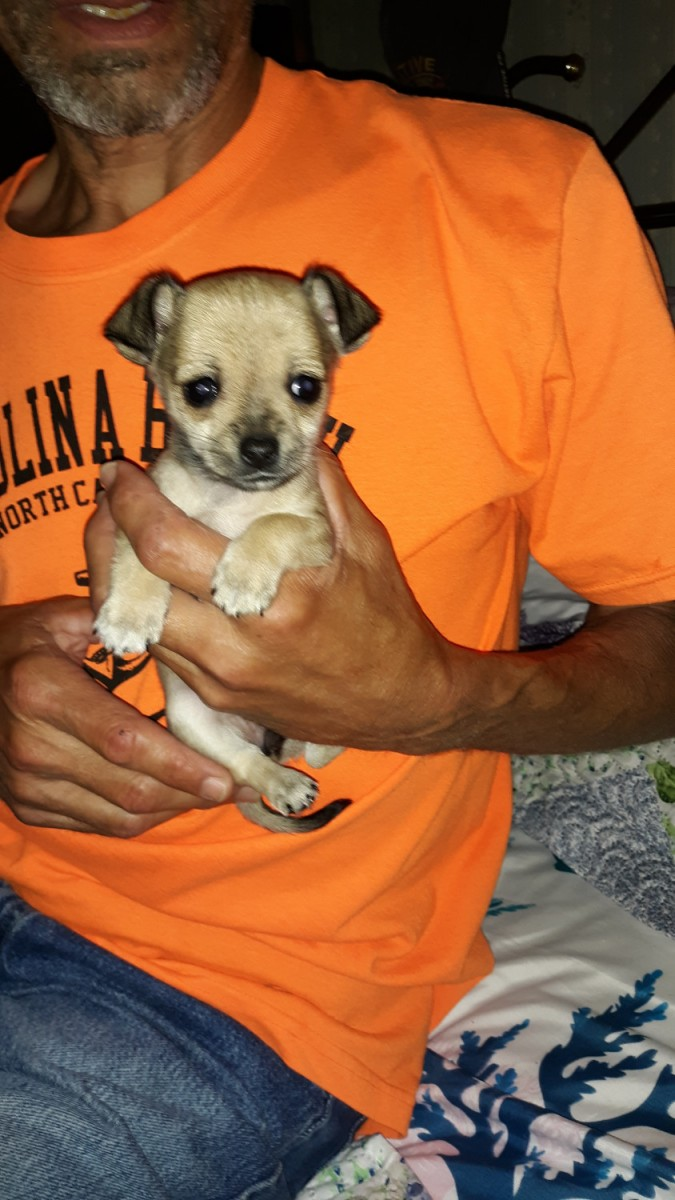 chihuahua puppies for sale in nc chihuahua puppies for sale thomasville nc 296275 3576