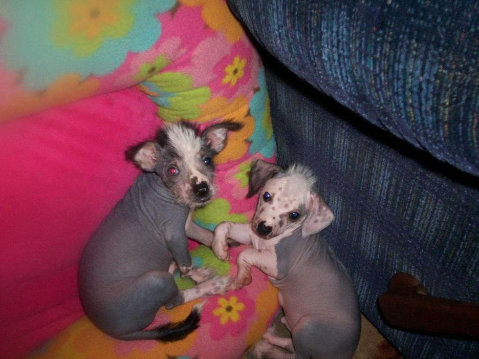 Chinese Crested Dog Puppies For