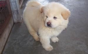 Chow Chow Puppies For Sale | East Los Angeles, CA #151544