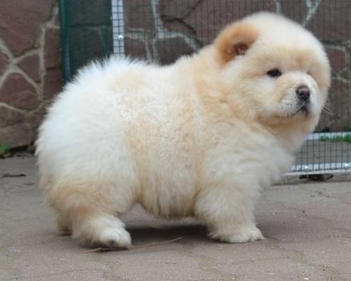 Chow Chow Puppies For Sale Jacksonville Fl 220805