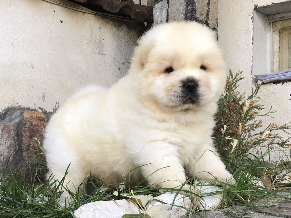 Chow Chow Puppies For Sale   Sacramento, CA #286935