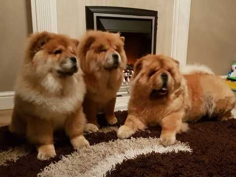 Chow Chow Puppies For Sale | Atlanta, GA #293087 | Petzlover