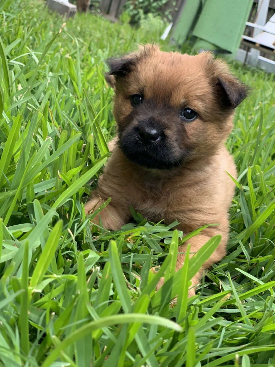 Chow Chow Puppies For Sale In Netherlands