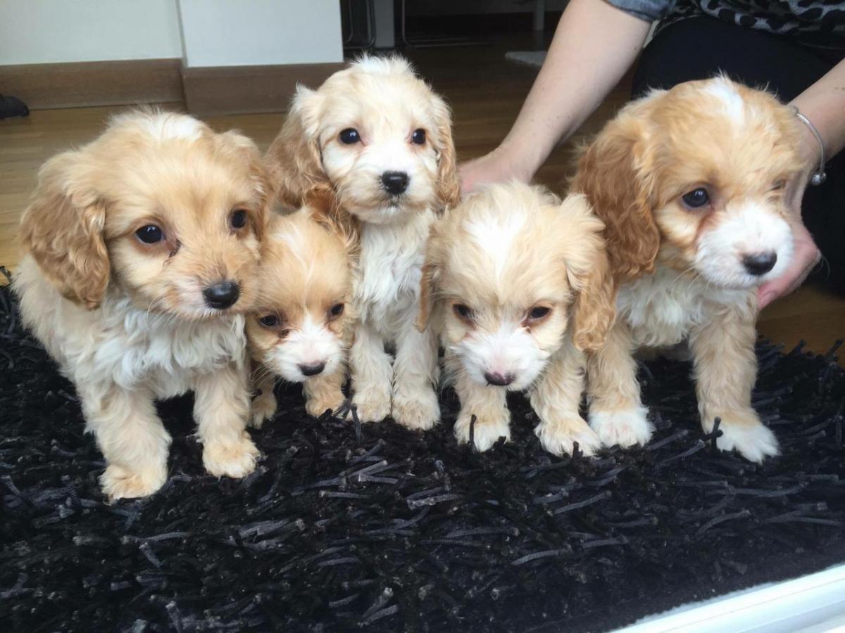 Buy Puppies For Sale Cockapoo In Australian Capital Territory Australia