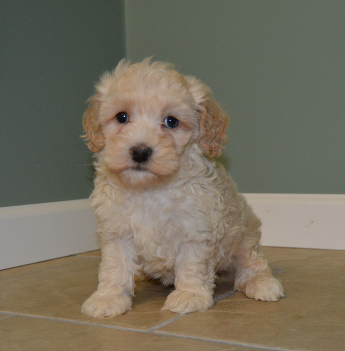 Cockapoo Puppies For Sale | Celina, OH #168331 | Petzlover