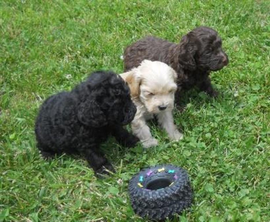 Cockapoo Puppies For Sale | Edwardsburg, MI #189390