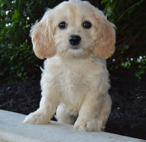 Cockapoo Puppies For Sale  Cincinnati, Oh 241585-6328