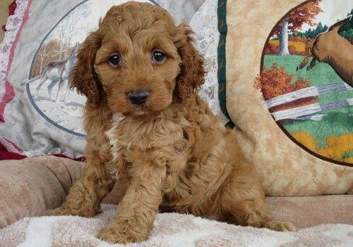 Cockapoo Puppies For Sale Macomb Mi 252401 Petzlover