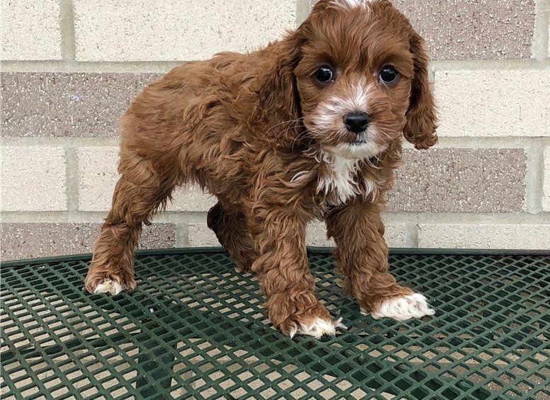 Cockapoo Puppies For Sale | Columbus, OH #275259 | Petzlover