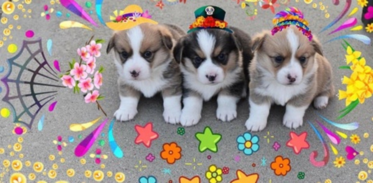 Corgi Puppies For Sale...