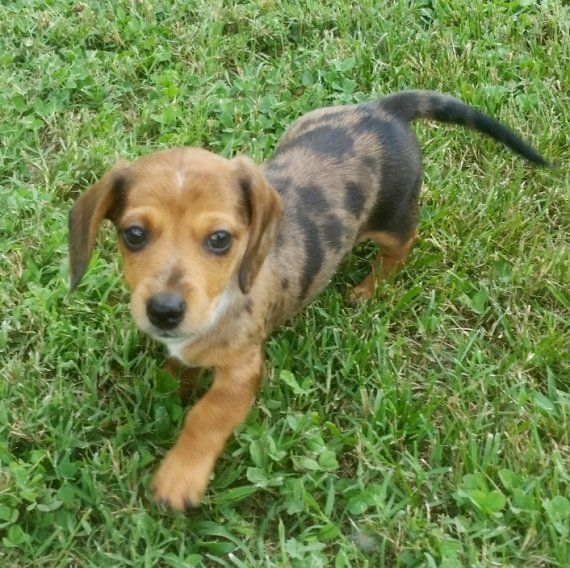dachshund puppy for sale near jacksonville north carolina dachshund puppies for sale concord nc 214214 petzlover 8818