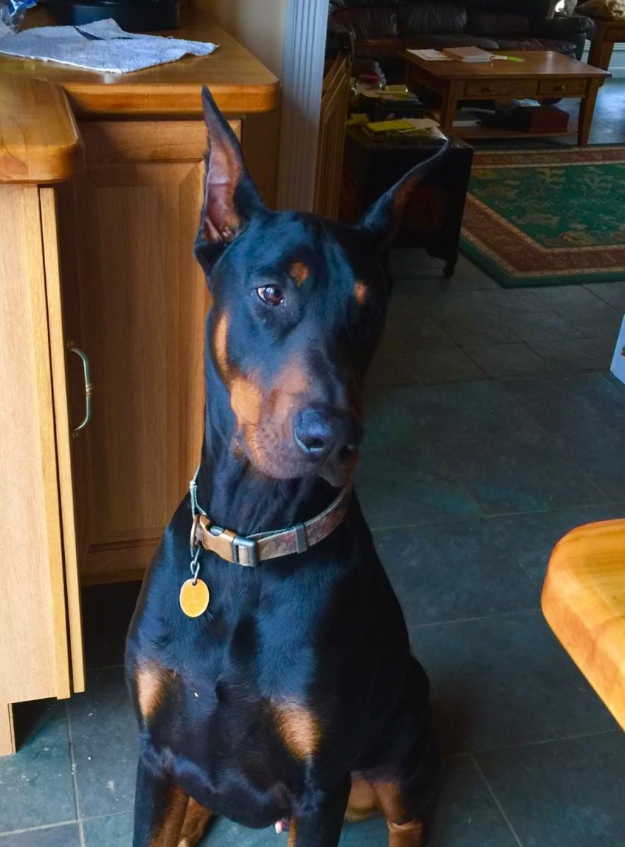 Doberman Pinscher Puppies For Sale | Camden, TN #241910