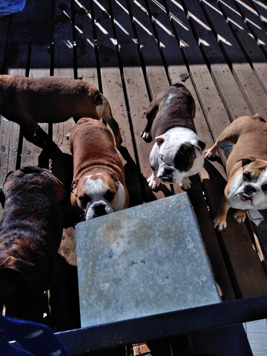 bulldog ne english bulldog for sale in bellevue ne 1 petzlover 3161