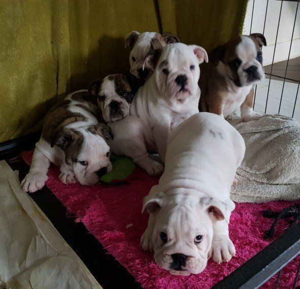 english bulldog puppies az english bulldog puppies for sale phoenix az 294828 8865