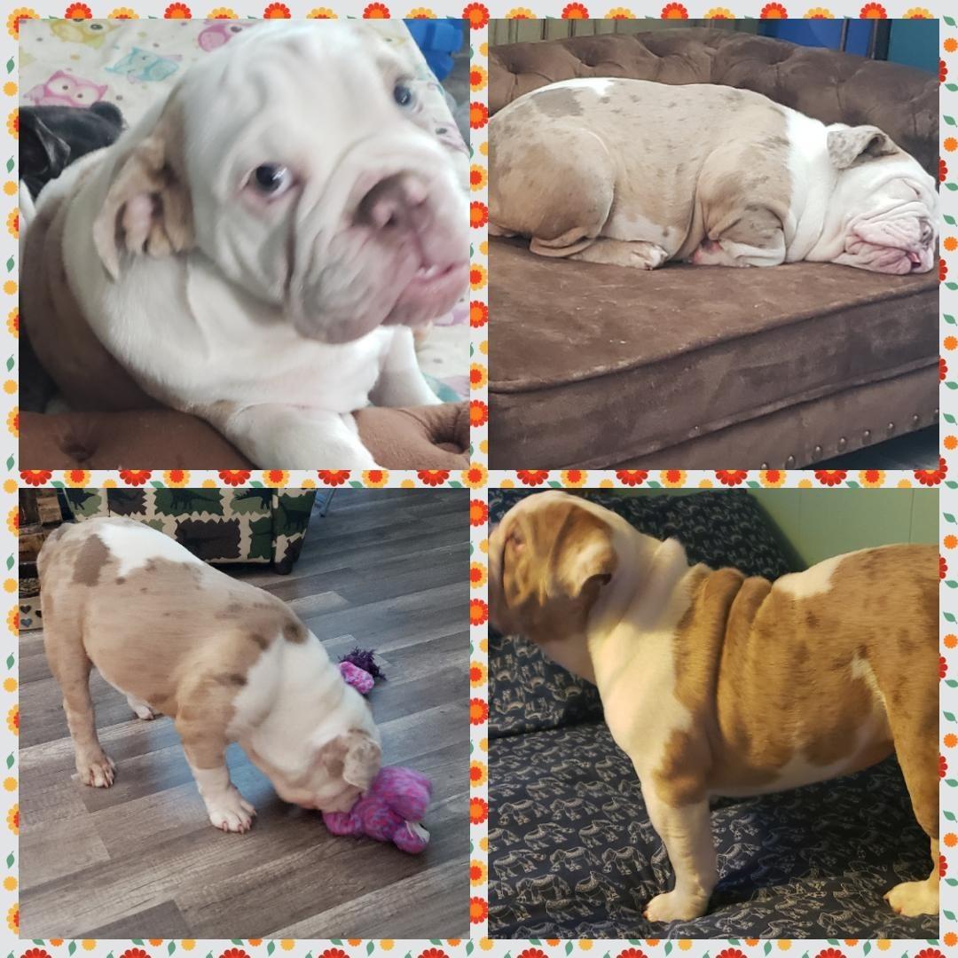 English Bulldog Puppies For Sale Muncy Pa 305100