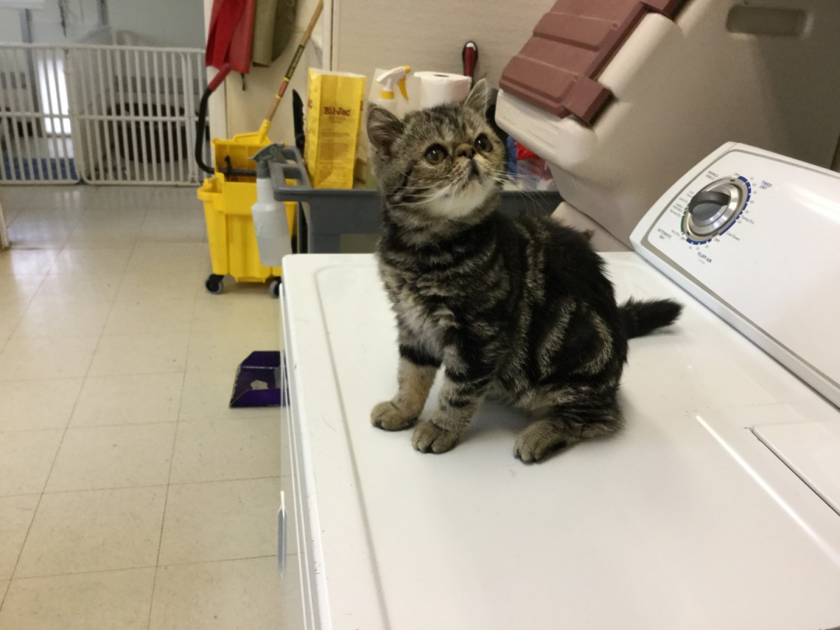 Exotic Shorthair Cats For Sale   Tipp City, OH #183272
