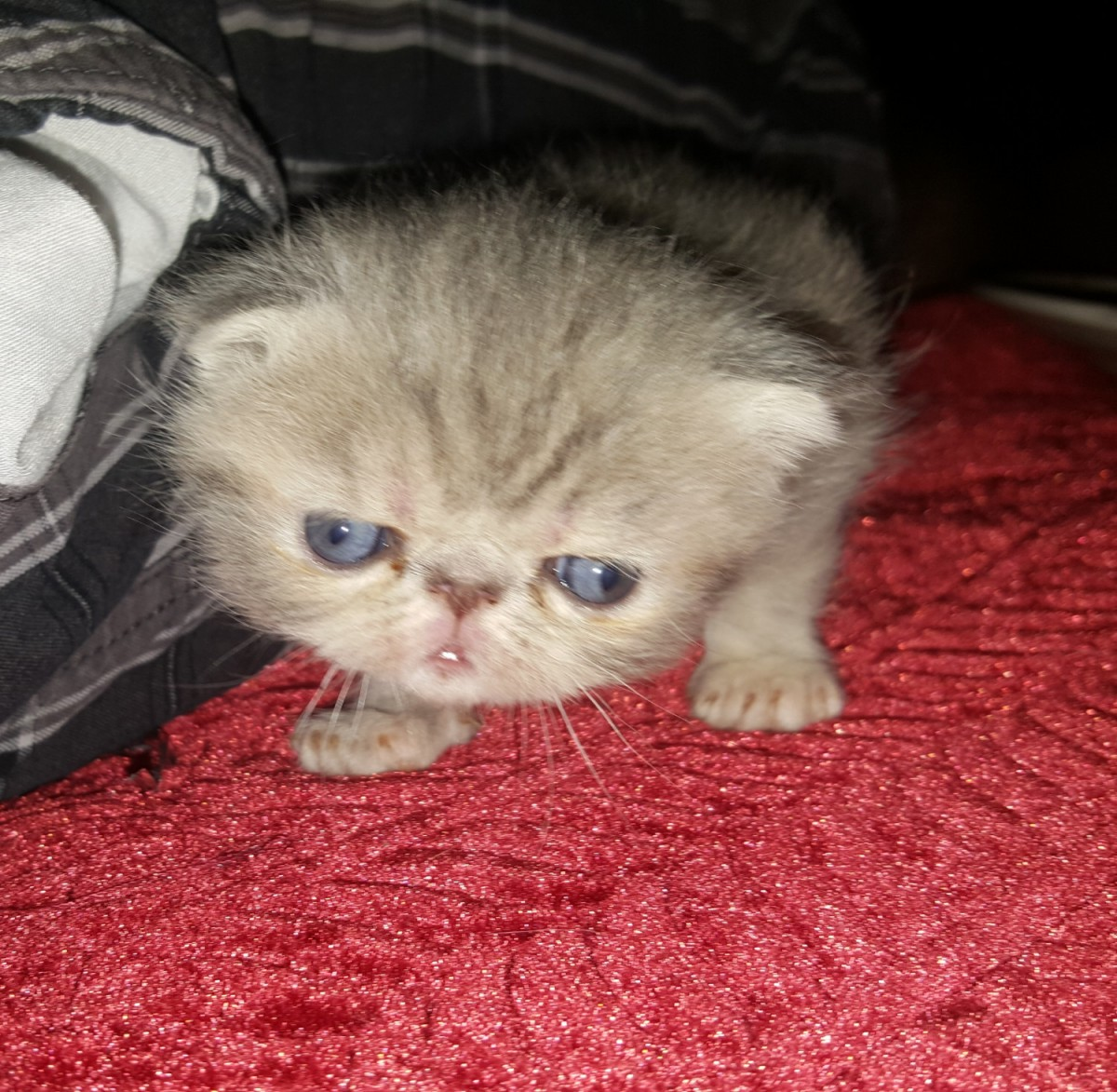 Exotic Shorthair Cats For Sale   Aberdeen, OH #234477